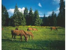 Freiberger Pferde