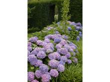 Forever&Evers trädgårdshortensia - Blue
