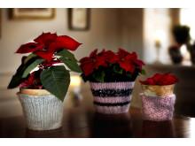 Julstjärnor i stickade krukor 2012