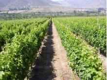 VsP Vineyard