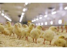 flera kycklingar
