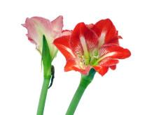 Lucka nr 19 - Tvåfärgad Amaryllis i en Blomstrande Julkalender