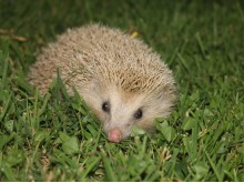 Blonde Hedgehog