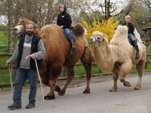 Kamelritt im Toggenburg