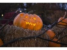Halloween på Liseberg. 28 000 pumpor i parken