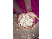 Torka och översvämningar slår hårt mot livsviktiga stapelfödan majs