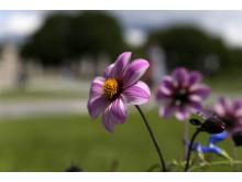 Lukt på blomstene i Vigelandsparken.