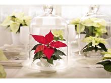 Julstjärna i glas, närbild