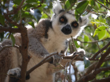Ringsvanslemur - Madagaskar