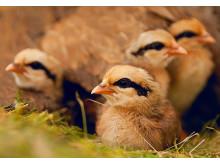 Kycklingar av djungelhöns