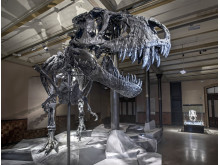 Tyrannosaurus rex Tristan i Berlin