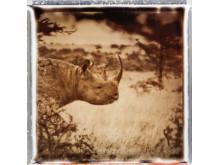 Noshörningen är en utrotningshotad art