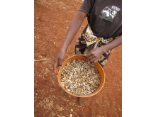 Esther från Emali Kenya visar upp skörden av Moringaträdets frökapslar
