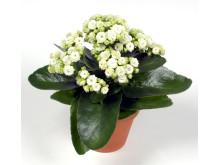 Lucka nr 14 - Vit Calandiva i en Blomstrande Julkalender