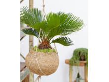 Kokodama® Japansk kottepalm