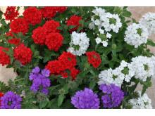 Verbena finnes i alle nasjonalfargene - rødt, hvitt og blått! Perfekt for sommerkrukken