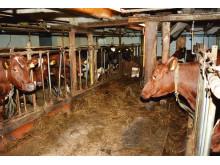 Jørn Haflunds' 12 Norwegian Red cows