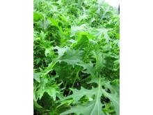 Foton från Plantagons odling i testbädd hos SLU av mizuna (Brassica rapa nipposinica)