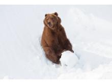 Kodiakbjörn i Orsa Grönklitt