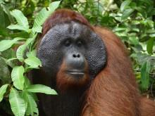 PI-Zoo-DARWINEUM-88-2017_Indonesien_Reise zu den Letzten ihrer Art_Orang-Utan-Mann_Tobias Pollmer