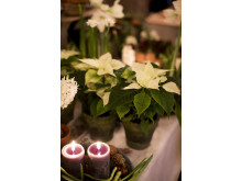 Vita julstjärnor lyser upp i advent