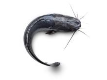 Fisksorten Clarias fungerar bra för uppfödning på land. Nu ska uppfödningen certifieras.