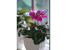 Cyclamen persicum ´Purple Fleur en Vogue´