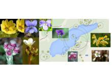 Gullviva, mandelblom, kattfot och blå viol - guidningar i vårfloran av Botaniska sällskapet i Stockholm