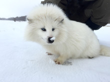 Vit mårdhund