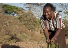 Hönor och bin hjälper Hellen att stå emot torkan
