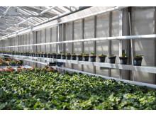Fra gartneriet: Produksjon av begonia