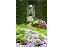 Forever&Ever perenna trädgårdshortensia som häck
