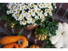 Bollkrysantemum vid entrén
