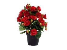 Lucka nr 12 - Julbegonian Grace i en Blomstrande Julkalender