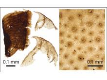 Microscopic animal fossils