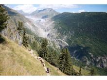 Alpabzug Schafe Belap / Fletsch Gletscher