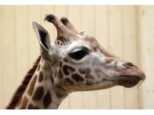 Giraffkalv