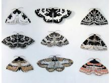 Sam Stigsson – Nio fjärilar