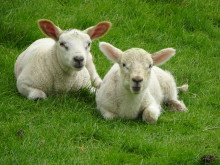 Peak District Lambs