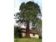 Riesen-Mammutbaum