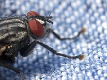 Bananfluga förebild för trådlös biosensor