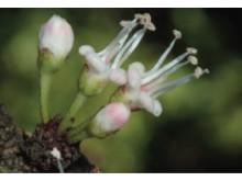 Pycnandra poindimiensis, ny art av tuggummiväxt