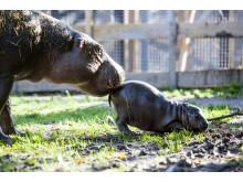 Dvärgflodhästunge född Parken Zoo Eskilstuna