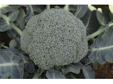 Superbroccoli på fält - närbild