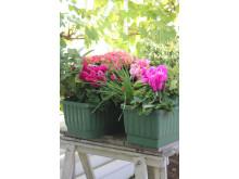 Balkonginspiration med säsongens växter