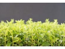 Stevia plants growing