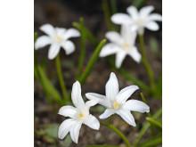 Stor vårstjärna Chionodoxa luciliae 'Alba'