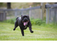Springande staffordshire bullterrier