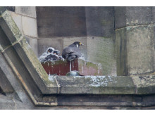 4 Peregrine Falcon chicks are nesting at the Town Hall