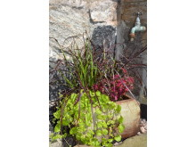 Fjäderborstgräs 'Rubrum', gult penningblad och palettblad